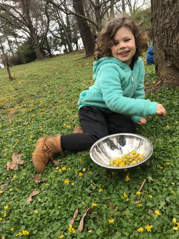 Picking lesser celandine